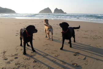 Dogs on Holywell Bay in front of Gull rocks